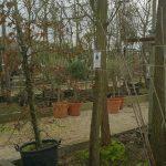 Les arbres d'ornement