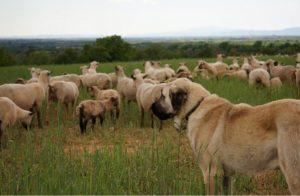 le berger, chien anatolie
