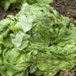 dégât du taurin sur la salade