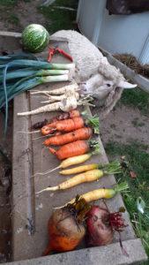 Carottes betterave panet et mouton qui les mangerai bien.