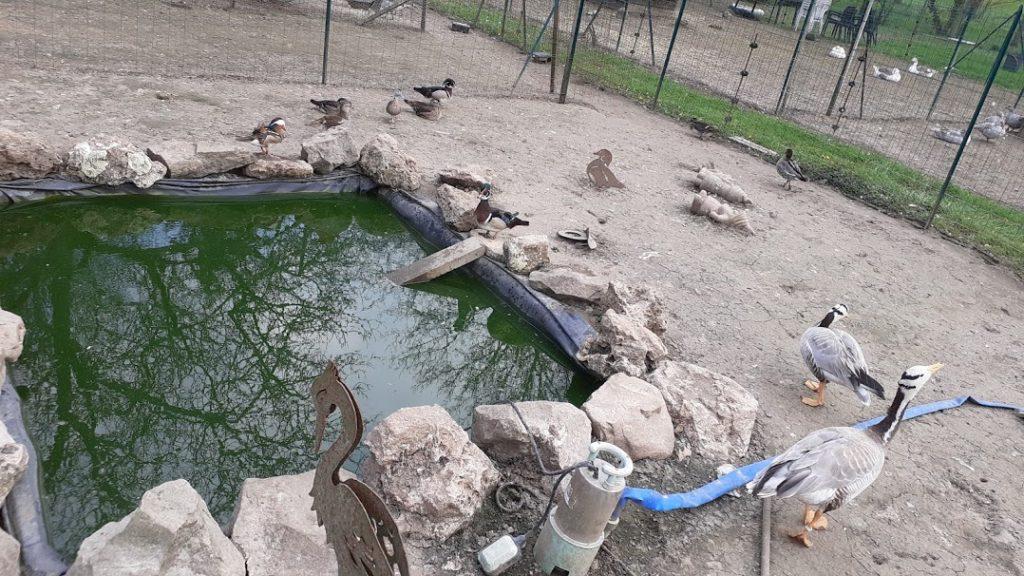 canards, oies ,un petit bassin tout clôturer