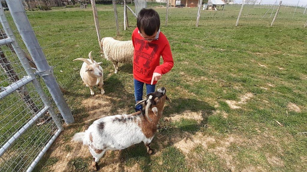 deux chèvres et un mouton